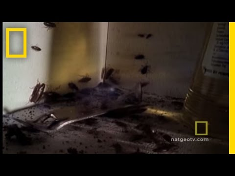 Cockroach Infestation | National Geographic